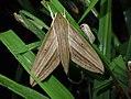 Theretra rhesus (Philippines, Luzon, Nueva Ecija, Dalton Pass) (Desmond Allen) male.jpg