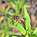 Thick-Headed Fly? (5948619036).jpg