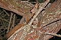 Thick-tailed Bushbaby (Otolemur crassicaudatus) (17322703645).jpg