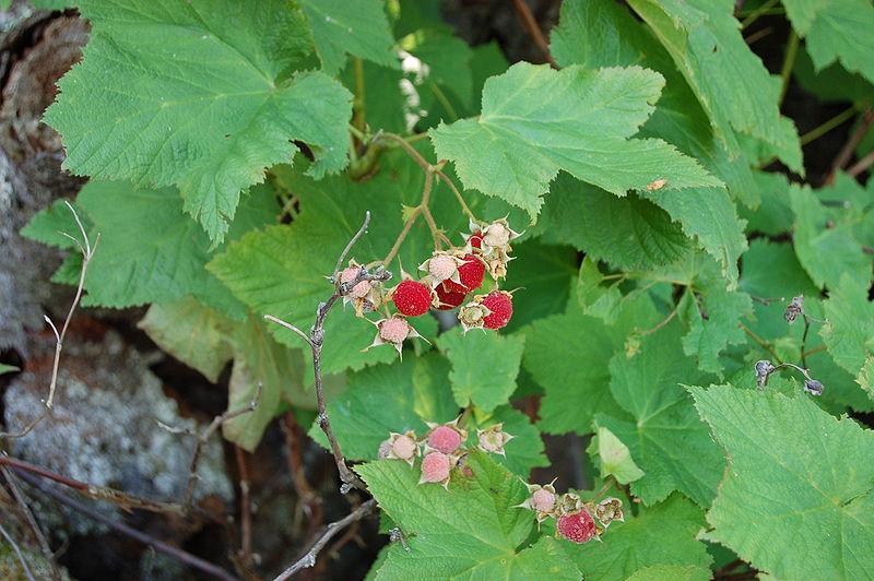 File:Thimbleberries MI UP.jpg