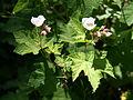 Thimbleberry 060806 8M.jpg