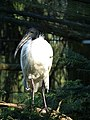 Threskiornis melanocephalus Lorsch.JPG