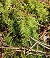 Thuidium tamariscinum kz1.jpg