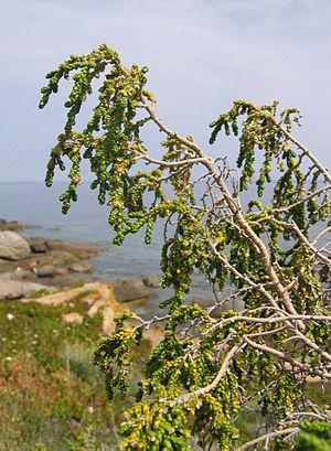 Thymelaea - Thymelaea hirsuta