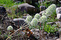 Thymus mastichina 01 by-dpc.jpg