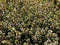 Thymus vulgaris 2020-06-06 9345.jpg