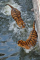 Tiger Jumping on Tiger in Water 5.jpg