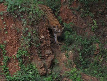Tiger of India 001.jpg