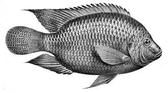 Seafood - Freshwater fish (tilapia)