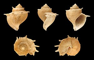 Lake Tanganyika - The shell of the endemic thallasoid freshwater snail Tiphobia horei with its elaborate shape and spines.