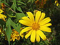 Tithonia diversifoliaRHu2.JPG