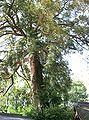 Torreya nucifera1.jpg