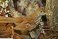 Toxostoma rufum 2zz.jpg