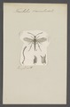 Trachelus - Print - Iconographia Zoologica - Special Collections University of Amsterdam - UBAINV0274 047 05 0012.tif