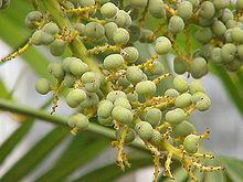 Trachycarpus fortunei wikip dia - Fruit qui pousse sur un palmier ...