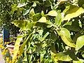 Trauttmansdorff gardens - Citrus x paradisi 03.JPG