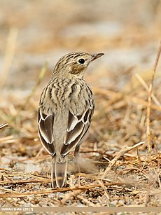 Tree Pipit (Anthus trivialis) (38450088622).jpg