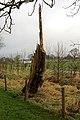 Tree stump by Malkin Lane - geograph.org.uk - 881677.jpg