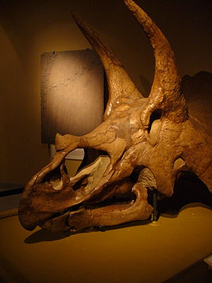 University of Colorado Museum of Natural History - A triceratops skull in the Paleo Hall at the museum.