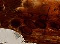 Trichinella spiralis (YPM IZ 095197).jpeg