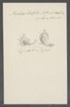 Trichoda delphis - - Print - Iconographia Zoologica - Special Collections University of Amsterdam - UBAINV0274 113 15 0055.tif