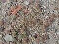 Trifolium cherleri212.JPG