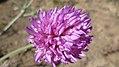 Trifolium thompsonii 2.jpg