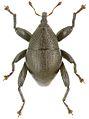 Trigonopterus wariorum holotype - ZooKeys-280-001-g100.jpg