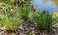 Tripsacum dactyloides - Marie Selby Botanical Gardens - Sarasota, Florida - DSC01614.jpg