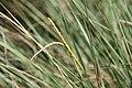 Tripsacum dactyloides var. floridanum 2zz.jpg
