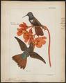 Trochilus pamela - 1820-1860 - Print - Iconographia Zoologica - Special Collections University of Amsterdam - UBA01 IZ19100343.tif