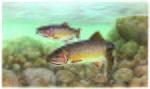 Trout cutthroat fish oncorhynchus clarkii clarkii.jpg