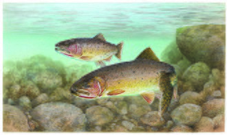 Cutthroat trout - Coastal cutthroat trout, Oncorhynchus clarkii clarkii, the type subspecies