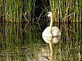 Trumpeter swan on Seedskadee National Wildlife Refuge (36919393805).jpg