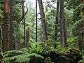Tsuga heterophylla Windy Bay (cropped).jpg