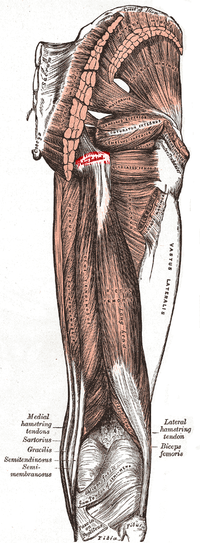 Tuberosity of the ischium.PNG