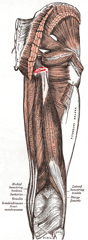 Ischial tuberosity - Image: Tuberosity of the ischium