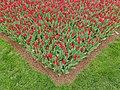 Tulip 1300258.jpg