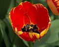 Tulipe 'Banja Luka'.jpg