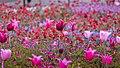 Tulips (27373684550).jpg
