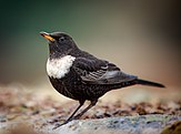 Adult male ring ouzel