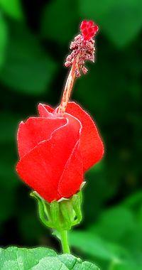 Malvaviscus Arboreus Wikipedia