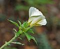 Turnera ulmifolia 'Elegans' in Hyderabad, AP W IMG 0210.jpg