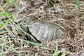 Turtle laying eggs-Santa Ana NWR-TX - 2015-05-16at12-41-142 (21421061410).jpg