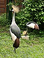 Two grey crowned cranes in tierpark friedrichsfelde berlin germany.jpg