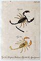 Two scorpions; Scorpio italicus and Scorpio aquilejensis. Co Wellcome V0022397EL.jpg