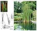 Typha orientalis Presl.jpg