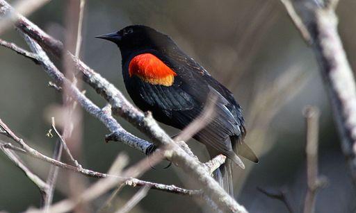 USFWS redwing blackbird1 (23770628931)