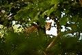 Uday Kiran Leopard BR Hills-2.jpg