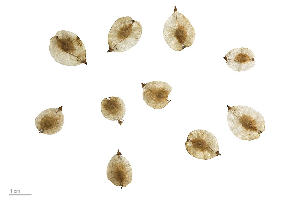 Ulmus minor MHNT.BOT.2010.12.3